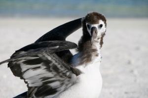 A juvnile Laysan albatross going through an awkward teenage stage