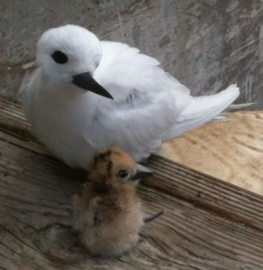 White tern with chick