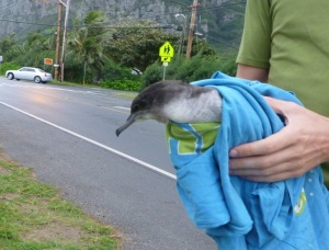 This wedge-tailed shearwater was found by the roadside in Waimanalo