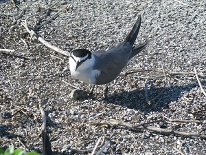 A gray backed tern